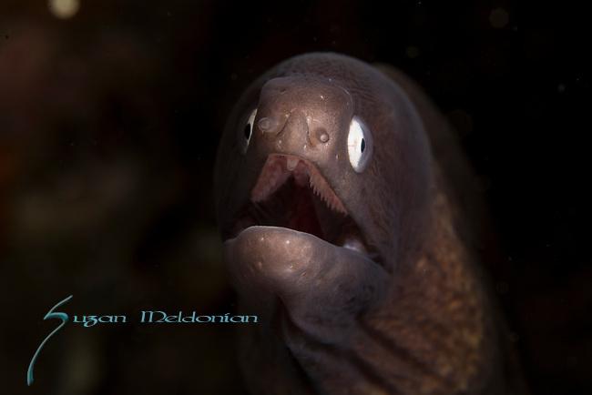 White Eyed Moray eel , Gymnothorax thrysoideus