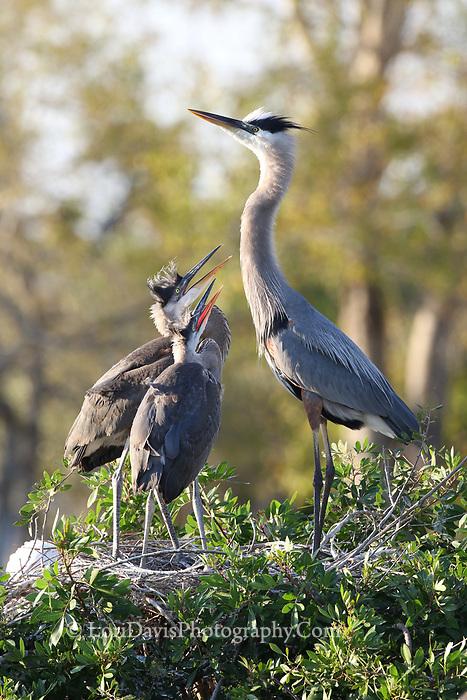 Hungry great blue heron chicks  #B131