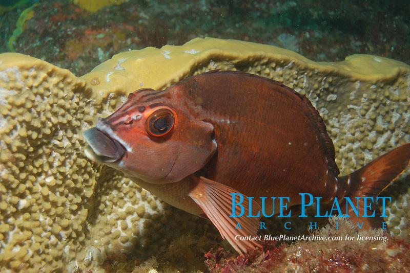 Red morwong, Cheilodactylus fuscus. Julian Rocks, Byron Bay, New South Wales, Australia, South Pacific Ocean