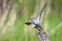 Kuckuck, Cuculus canorus, Cucullus canorus, cuckoo