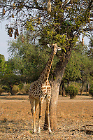 Giraffe (Giraffa camelopardalis), South Luangwa National Park, Zambia.