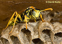 0621-1104  European Paper Wasp on Paper-like Nest, Invasive Species in North America, Polistes dominula (Polistes dominulus)  © David Kuhn/Dwight Kuhn Photography