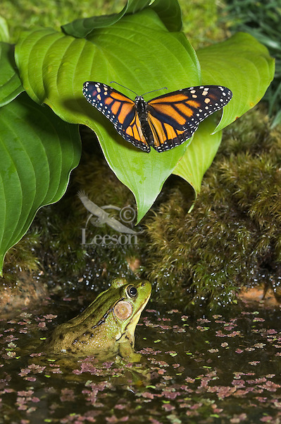 Monarch Butterfly (Danaus plexippus) lands on leave to drink water drops while Green Frog (Rana clamitans melanota) watches from water for opportunity to attack.  Summer. Nova Scotia, Canada.