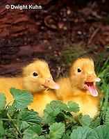 DG10-032x  Pekin Duck - four day old ducklings exploring