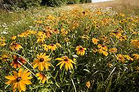 wildflowers near Stockbridge Bowl, Berkshire hills, Lenox, MA (MA-093)