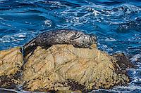Harbor seal (Phoca vitulina).  Along California Coast.