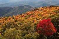 Autumn maple and ridges, Blue Ridge Parkway