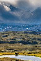Alaska Range mountains and the muldrow glacier moraine in the distance, Denali National Park, Interior, Alaska.