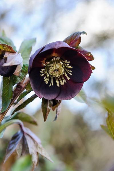 Helleborus 'Ashwood Garden Hybrids' Black