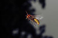 Hornisse, im Flug, fliegend, Hornissen, Vespa crabro, hornet, hornets, brown hornet, European hornet, Le frelon européen