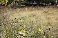Meadow as lawn substitute using Little Bluestem Grass-Schizachyrium scoparium and Indian grass (tall rear) in autumn with Baptisia bracteata clumps Neil Diboll garden Wisconsin, Prairie Nursery