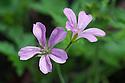 Geranium x oxonianum 'Wargrave Pink', early June.