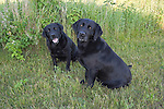 Black Labrador retrievers (AKC), from the same litter, posing for a picture.  Summer.  Winter, WI.