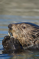 Sea Otter (Enhydra lutris) feeding on clam
