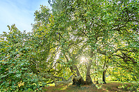 France, Maine et Loire, Loire Valley listed as World Heritage by UNESCO, Savennieres, Fresne Park, Oriental plane (Platanus orientalis) listed Remarkable Tree of France by A.R.B.R.E.S. association // France, Maine-et-Loire (49), Val de la Loire classé patrimoine mondial de l'UNESCO, Savennières, parc du Fresne, platane d'Orient (Platanus orientalis) labellisé arbre remarquable de France par l'association A.R.B.R.E.S.