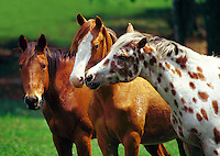 Close up of three appaloosa mares. One mare affectionately nuzzles the other. horses, equine, animals. #106 HR Appaloosa Mares.