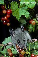 MU50-078z  Deer Mouse - immature young eating berries - Peromyscus maniculatus