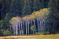 Aspen trees start to show their colors in early autumn in the mountains of Colorado