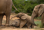 Pictured:   A pair of young elephant calves roll around in the mud surrounded by older members of the herd.<br /> <br /> They appear to wrestle each other to the ground as they use the mud to cool themselves.<br /> <br /> The photographs were captured by experienced wildlife photographer Peter Haygarth in Addo Elephant Park in South Africa.  SEE OUR COPY FOR FULL DETAILS.<br /> <br /> Please byline:  Peter Haygarth/Solent News<br /> <br /> © Peter Haygarth/Solent News & Photo Agency<br /> UK +44 (0) 2380 458800