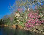 Devil's Den State Park, AR<br /> Flowering Eastern Redbud tree (Cercis canadensis) in spring forest along Lee Creek
