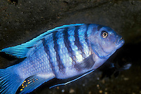 Zebra Cichlid (Pseudotropheus estherae).  The Zebra Cichlids, also known as the Mbuna Cichlids, are endemic to Lake Malawi.