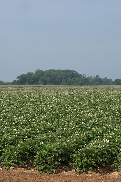 Potatoes flowering <br /> ©Tim Scrivener Photographer 07850 303986<br />      ....Covering Agriculture In The UK....