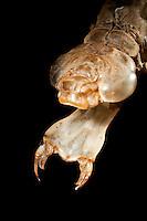 Libellenlarve Mundwerkzeuge, Mundwerkzeug, Fangmaske, so wird die stark verlängerte Unterlippe (Labium) bei den Larven der Libellen bezeichnet, In Ruhestellung wird diese Fangmaske unter dem Kopf und dem vorderen Teil der Brust zusammengelegt. Ist ein potentielles Opfer in Reichweite, schnellt dieses klauenbewehrte Instrument hervor und die Beute wird gepackt. Die Beutetiere werden durch die am Vorderende der Fangmaske vorhandenen Zähnchen gepackt und festgehalten. Große Königslibelle, verlassene Larvenhaut, Exuvie, Larve, Grosse Königs-Libelle, Anax imperator, Emperor Dragonfly, L´Anax empereur