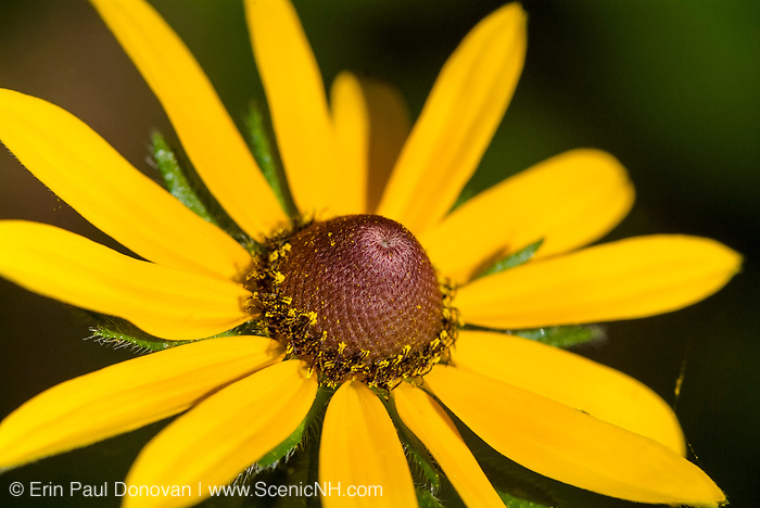 Black Eyed Susan-Rudbeckia hirtaduring the summer months in the White Mountains, New Hampshire USA.