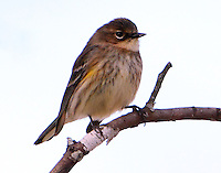 Female yellow-rumped (myrtle) warbler in February