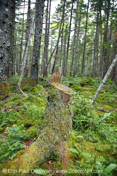 Pemigewasset Wilderness - Moss covered tree stump that was cut by hand in the Shoal Pond Valley during the summer months in Lincoln, New Hampshire USA.