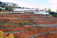 autumn colours vineyards parts of ungrafted nacional the winery quinta do noval douro portugal