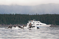 humpback whales, Megaptera novaeangliae, co-operatively bubble-net feeding near the Safari Quest, Chatham Strait, Alaska, USA, Pacific Ocean