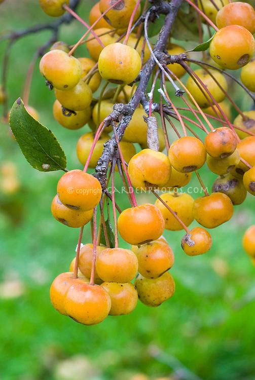 Crabapple Malus 'Dorothea'  in autumn fall fruit berries . Crab apple