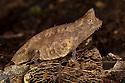 Stump-tailed chameleon (Brookesia superciliaris) camouflaged amongst leaf litter on rainforest floor, Andasibe-Mantadia National Park, Eastern Madagascar.