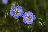 Blue Flax (Linum lewisii)is a perennial plant native to western North America. The seeds of western blue flax are edible cooked. They have a pleasant nutty taste and are very nutritious.<br />
