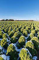 Curly kale with snow coveing - Lincolnshire, February