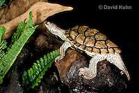 1109-1001  Texas Map Turtle at Night on Log, Graptemys versa  © David Kuhn/Dwight Kuhn Photography