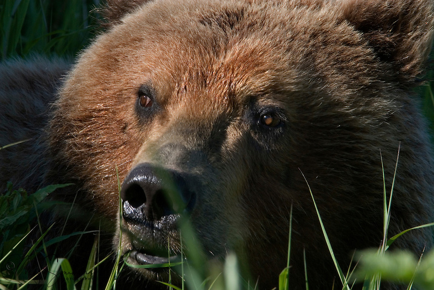 The Kodiak bear (Ursus arctos middendorffi), also known as the Kodiak brown bear or the Alaskan grizzly bear or American brown bear, occupies the coastal areas and islands of the Kodiak Archipelago in South-Western Alaska. It is the largest subspecies of brown bear. <br /> This bear was in a berry patch, happy eating away. Kukat Bay, Katmai National Park.