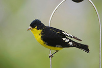 Lesser Goldfinch, Carduelis psaltria, black-backed male on Thistle Feeder near Mealy sage (Salvia farinacea), Uvalde County, Hill Country, Texas, USA, April 2006