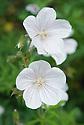 Geranium clarkei 'Kashmir White', early June.