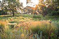 Meadow garden in morning light through walnut tree at River Farm, Virginia, American Horticultural Society with grass (Eragrostis trichodes, Panicum virgatum)