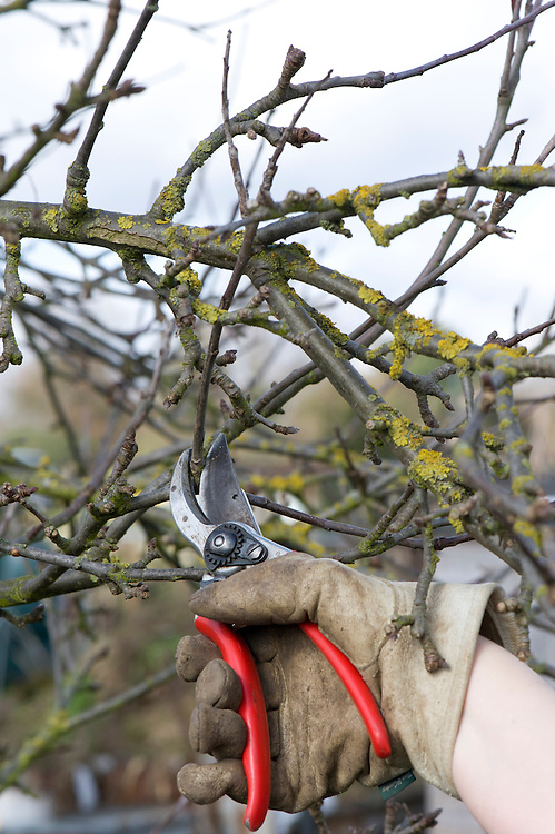 Tangled, congested areas of established apple and pear trees should be thoroughly thinned out in winter. If they're not, they keep out light and air, promoting the risk of disease. BEFORE.