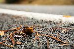 California Newt (Taricha torosa) crossing road during migration to breeding pond, Tilden Regional Park, Berkeley, Bay Area, California
