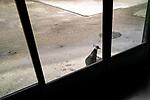 A peacock watches what s going on inside. Due to a coronavirus pandemic (COVID-19), Servion Zoo is closed to the public. Servion, Switzerland, April 30, 2020.<br /> Un paon regarde ce qu il se passe a l interieur. Pour cause de pandemie de coronavirus(COVID-19), le zoo de Servion est ferme au public. Servion, Suisse, le 30 avril 2020.