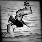 Pelican diving, Bolsa Chica, CA.