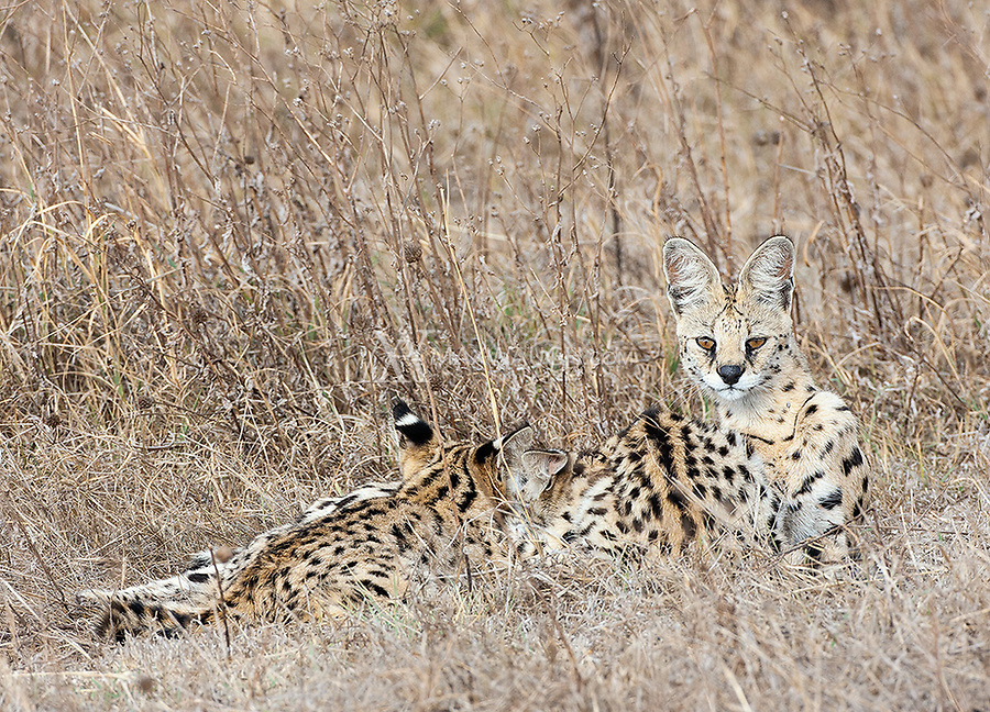 We were incredibly fortunate to get a call on the radio about a serval nursing her cubs right by the road late in the day. They disappeared into the grass soon after our arrival.
