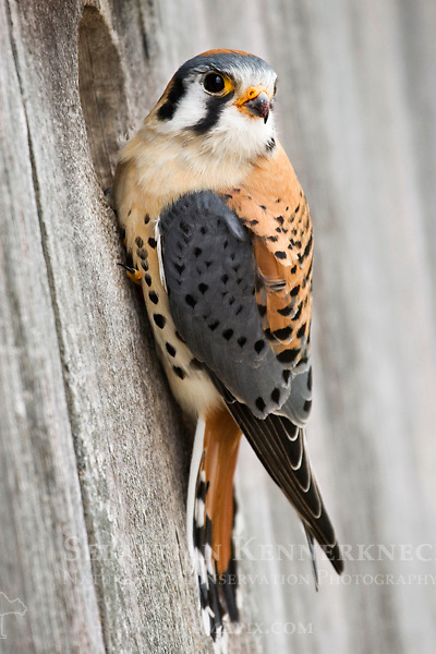 American Kestrel (Falco sparverius) male at nest box, Prairie du Chien, Wisconsin