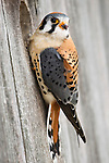 American Kestrel (Falco sparverius) male at nest box, Prairie du Chien, Wisconsin