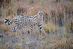 Kenya, Chyulu Hills National Park, serval (Leptailurus serval)