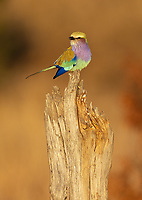 One of Africa's most beautiful species. A flight shot is a common goal for most photographers.